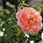 My Anne Boleyn Rose